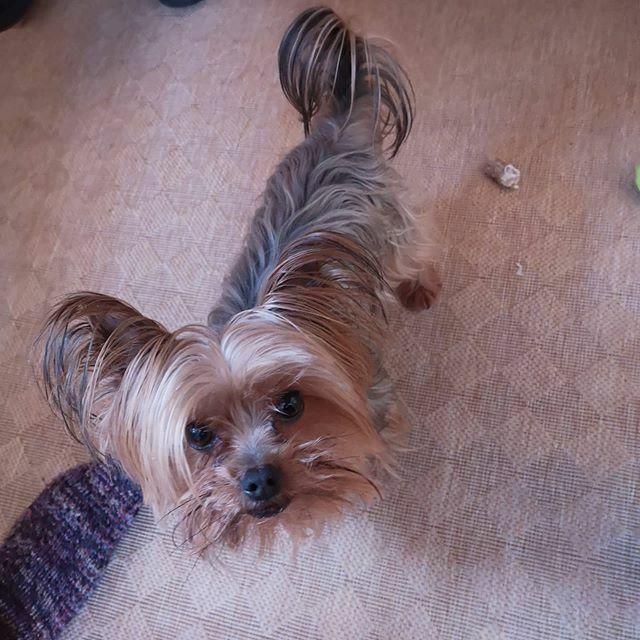 Wir haben Besuch, freut mich ganz arg  was habt Ihr schönes am Wochenende gemacht? . . . #miro #besuch #gäste #visit #visitor #herzaufvierpfoten #yorkie #yorkshire #yorkshire_terrier #petstagram #hund #dog #dogstagram #dogoftheday #yorkshireterrier … https://ift.tt/2SOnIkdpic.twitter.com/93JQ02YvLY