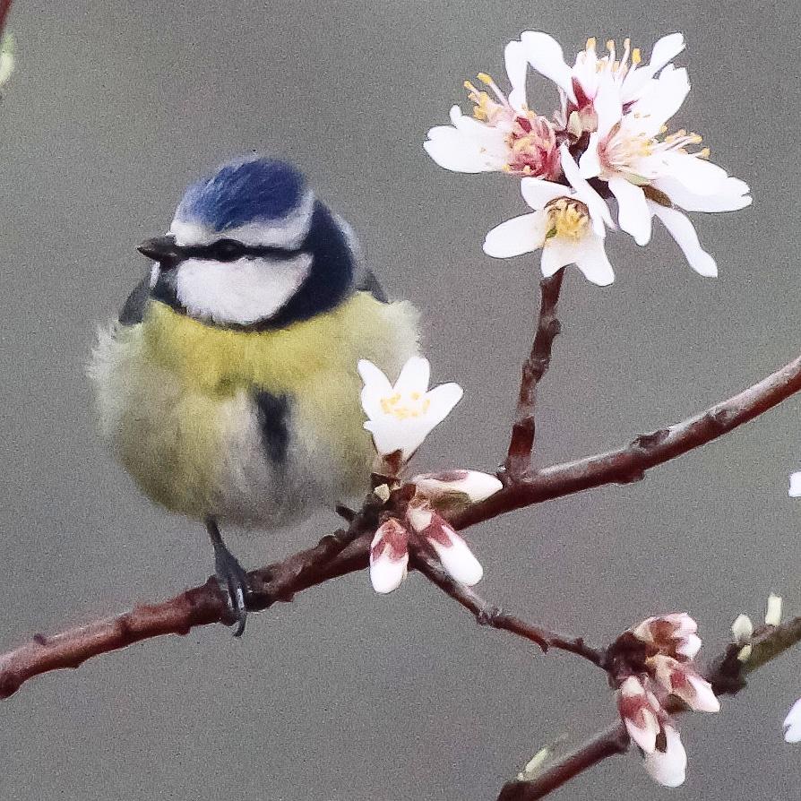 #cyanistes_caeruleus Herrerillo Común #toledo 16-2-2020 #paseosporlanaturaleza #avesdetoledo #canon7d #avesdecastillalamancha #birdsofinstagram #fotografiadenaturaleza #aves #birdofLaMancha #invierno#naturephotography #birdsphotographypic.twitter.com/5UoKIz8g7J