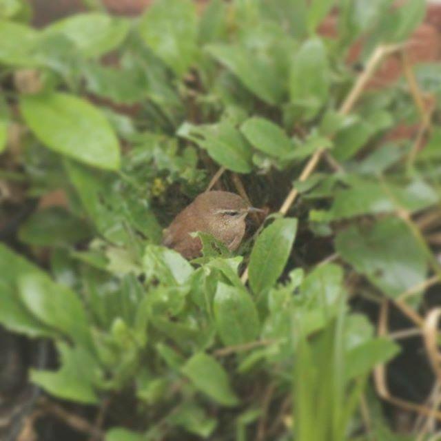 Spotted a Jenny Wren systematically going through the pots #gardenbirds #wren #birdsofinstagram @rspb_love_nature #rspb #birds #naturesvoice https://ift.tt/37xvzI4pic.twitter.com/AudNbA1rl2