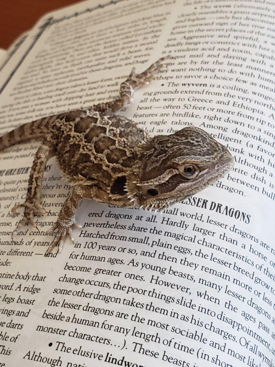 He won't leave my book alone. #drow #gaming #rpg #worldofdarkness #dungeonsanddragons #pathfinder #rpg #beardeddragon #castledragon #petspic.twitter.com/5G7pW70ORb