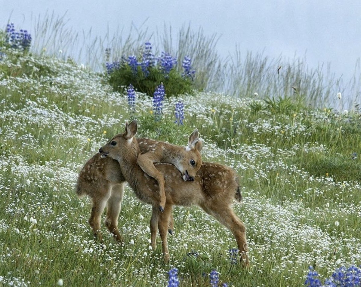 oh to be a doe hugging another doe in a field full of lavender