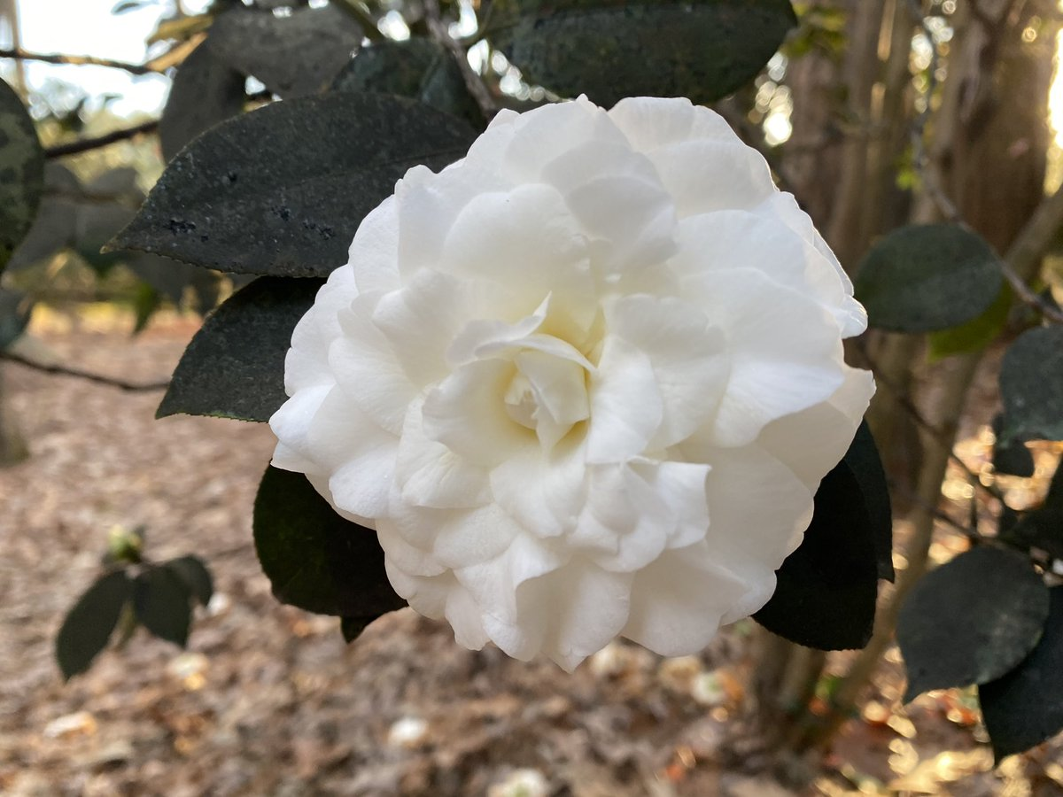in shade and in sun, white and pink camellias @NorfolkBotanic  #FlowerReport