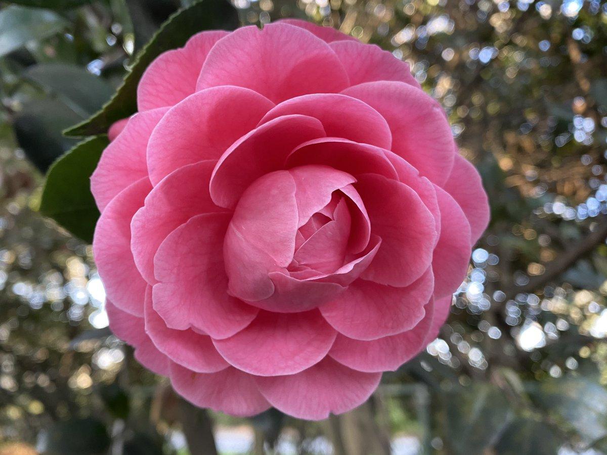 my favorite camellia of the day @NorfolkBotanic  #FlowerReport