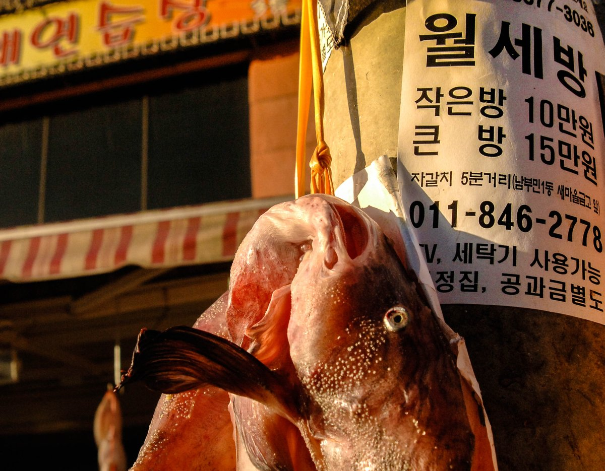 Derived from the obvious lack of #enthusiasm of a fish caught out of water, being or feeling like a dead fish simply means that you just want to crash in bed & hibernate until you recharge. #Busan #SouthKorea #travelphotography #CoreadelSur #culture #korean #streetphotographypic.twitter.com/Knrissl2ev