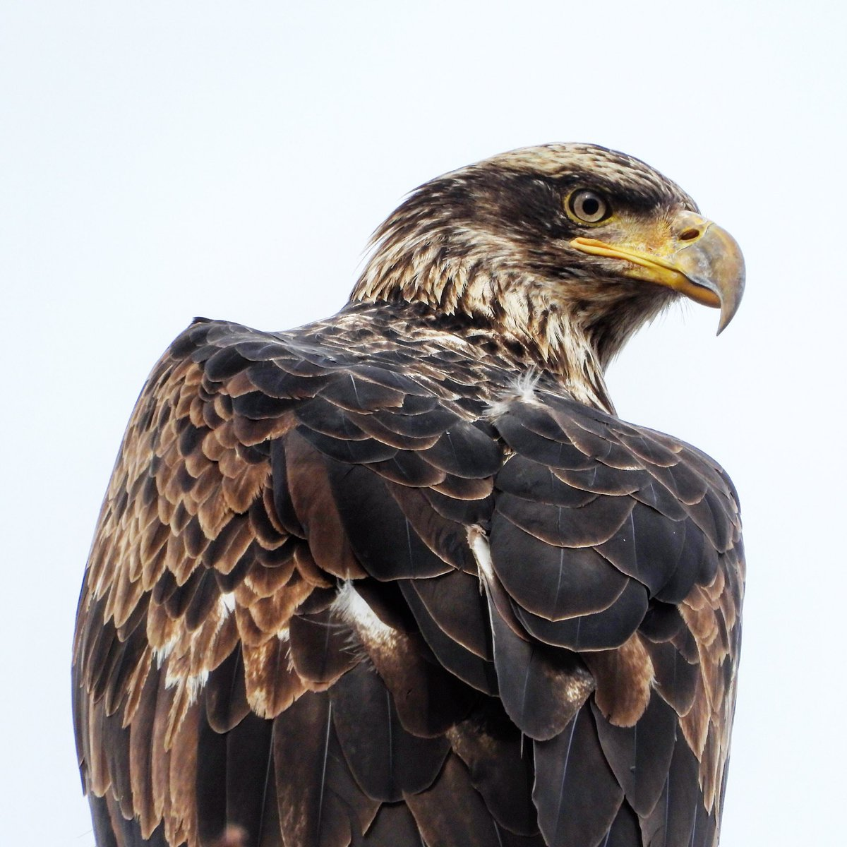 Beautiful young Bald eagle in delta this Sunday 16 February 2020 #dailybaldeagle #baldeagle #wildlife #nature #gbbc #birds #raptors #vancouverbirds #explorebc #vancity #exploredelta #experiencedelta #wildvancouver #canadianwildlife #pnw #natgeo #cangeo #canada https://t.co/IRKuqQeGpo