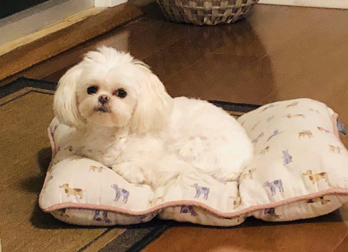 Maltese love. #miamimaltese #GiGi #Roxie #mydogs #therapydogs