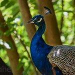 Image for the Tweet beginning: paveando  . . . . . #aves #bird #birds #pavoReal #indianPeafowl
