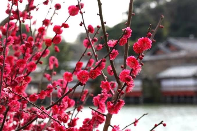 Did you know that plum blossoms already start to bloom in mid-February (in central Japan)?   A famous place to see them is Sazuka Forest Garden in Mie prefecture or Hanegi park in Tokyo   #japantrip #Japan #natureloverspic.twitter.com/E1K2c1picG