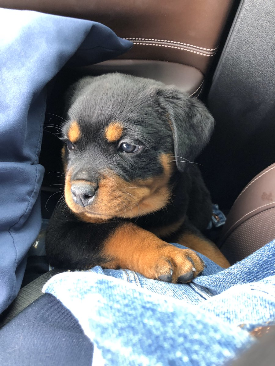 My baby Finally coming home. Don't mess with momma or she will mutilate you. Welcome home Paris. #rottweiler  #akcregistered  #championbloodline  #parisishername  #drovemilestopickherup  #blockedhead  #purebred