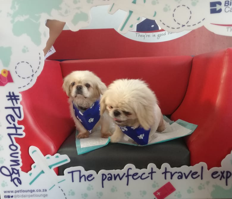 This cute duo, Rowdy and Bubbles, traveled to Cape Town and George yesterday. #PetLounge #AnimalTravel #instapaws #petlovers #loveforpets #animaltransportation #animals https://t.co/XzwP9Hkw6E