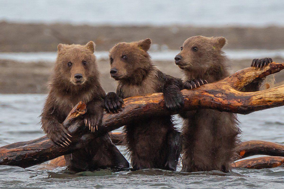 фото картинки медведей камчатка помощью, удивляли, колдовали