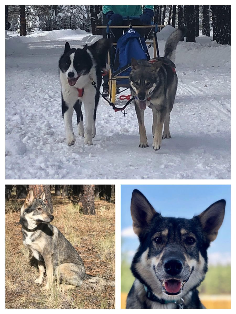 Hawthorne Zion - Kiera, of the National Parks Litter out of Hawthorne Black Dragon's Cauldron x Points Unknown Arrow, made this month's #TamaskanOfTheMonth Check out this Month's Newsletter! https://www.tamaskandogregister.com/services/downloads/…#TDR #TamaskanDogRegister #TamaskanDog #Tamaskan #Dog