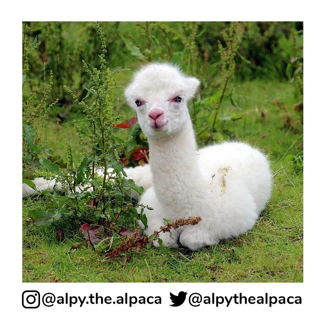 Hmm.. cute none the less  . .  DM me for Credit/Removal  . . . . . #alpy #alpy.the.alpaca #alpaca #alpacagram #alpacalover #alpacas #alpacasofinstagram #alpacaworld #dailyalpaca #lllama #llamas #alpaka #alpakas #alpaga #alpagas #アルパカ #alpacalove #альпакаpic.twitter.com/Us8Ul7GGHz