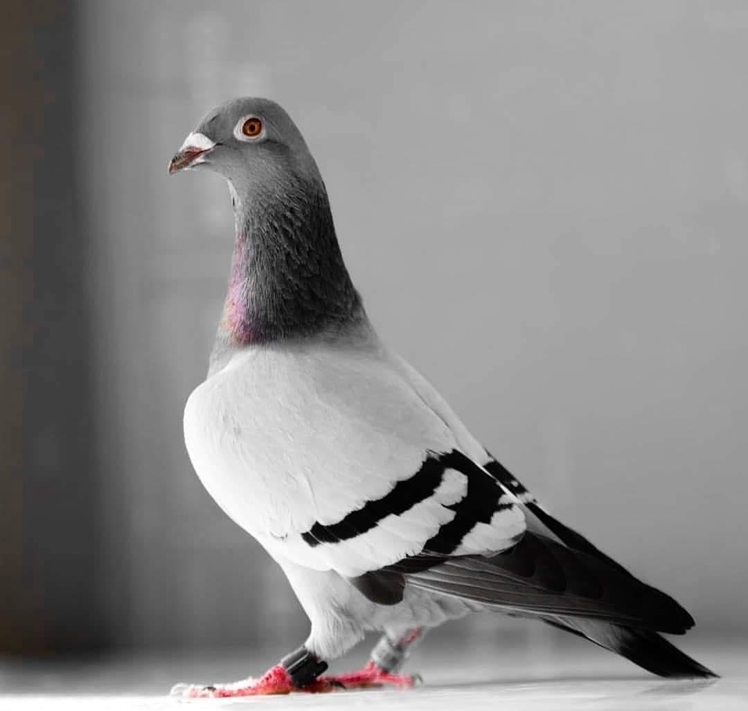 By @alkhulaifi_clicks #pigeonsloversofallkinds #porumbei #pigeons #pigeonracing #pigeon #birdlovers #bird #الحمام #birdsofinstagram #birds #animal #animallovers #animals #animallover #duiven #piccioni #güvercinler #palomas #tauben #鴿子 #голуби #کبوتر #photographer #photography