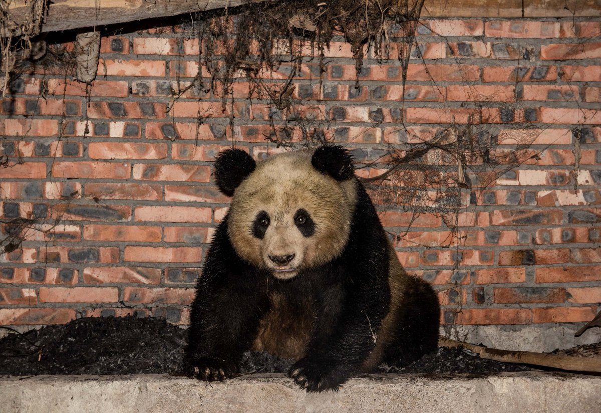 Wild panda's wild night out...Probably looking for food, this panda was found in a village pigsty in Sichuan at night and left early morninghttp://xhne.ws/1WGku
