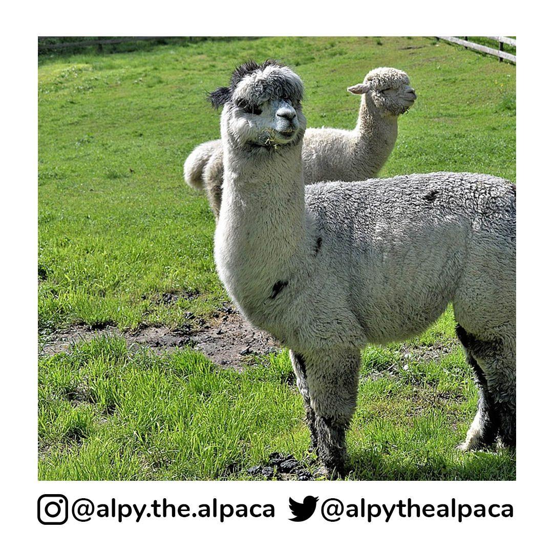 Mud and Sunshine  . .  DM me for Credit/Removal  . . . . . #alpy #alpy.the.alpaca #alpaca #alpacagram #alpacalover #alpacas #alpacasofinstagram #alpacaworld #dailyalpaca #lllama #llamas #alpaka #alpakas #alpaga #alpagas #アルパカ #alpacalove #альпакаpic.twitter.com/9iHaolDIDw