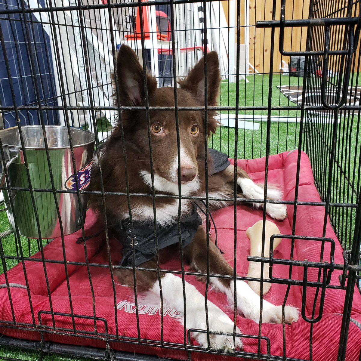 Winnie's #patientlywaiting for his turn to play #agility #dog #bordercollie #bordercollies #reddog #dogagility #agilitydog #agilitywithamanda #dogadventures #doglooks #dogwaiting #waitingdog #kong #kongbed @company_kong #backontrack #backontrackdog @BackOnTrackProdpic.twitter.com/6DUGqYbXMQ