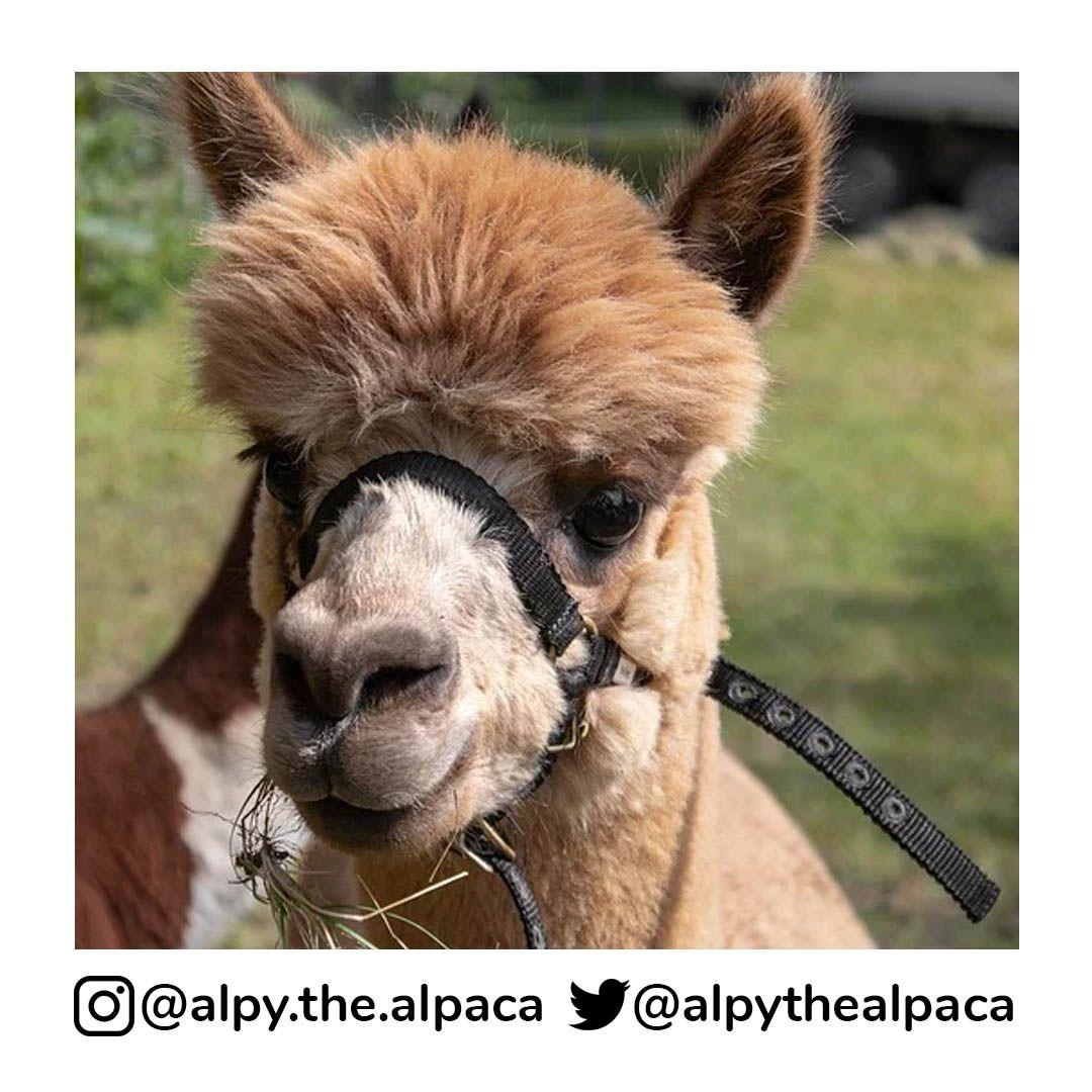 . .  DM me for Credit/Removal  . . . . . #alpy #alpy.the.alpaca #alpaca #alpacagram #alpacalover #alpacas #alpacasofinstagram #alpacaworld #dailyalpaca #lllama #llamas #alpaka #alpakas #alpaga #alpagas #アルパカ #alpacalove #альпакаpic.twitter.com/zdiOv7bjSP