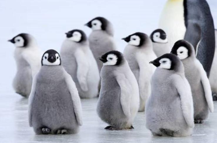 まさかそんな理由とは。野生の皇帝ペンギンが人間の後を付いてくる理由が可愛い。