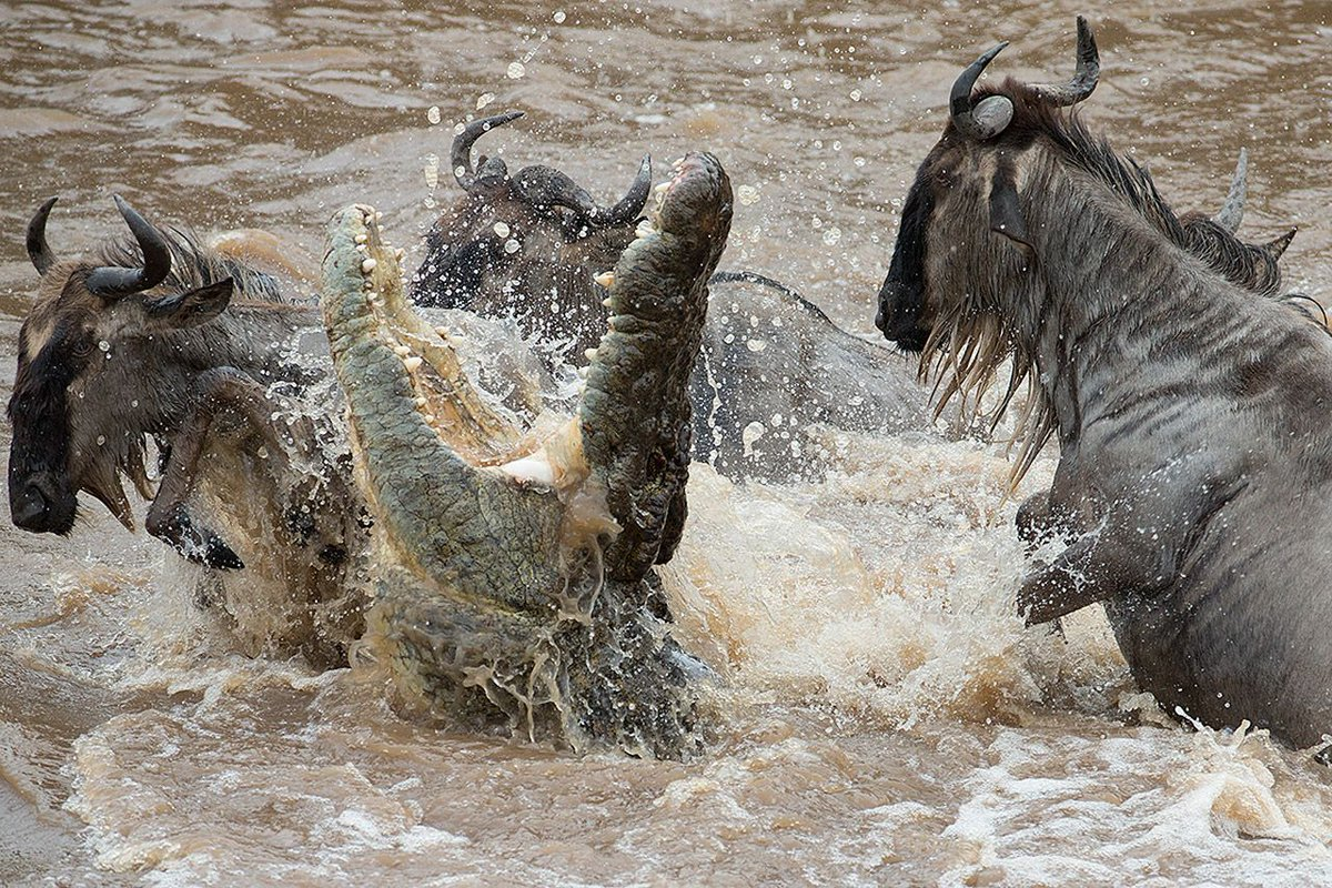Watch live encounter between the crocodile and the wildebeest during the great migration safari, the world's big live show   #wildebeestMigrationSafari #safaritour #wildlife #tanzaniasafari #wildlifesafari #Serengeti #tanzania #africa #africansafari #wildlifephotographypic.twitter.com/RzSKtHxObR