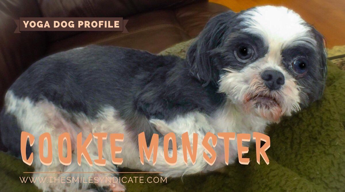 Cookie Monster is a 13 year-old shihtzu who likes tummy rubs, napping and mauling scumbag druids. She's always up for a walk, taking down some yoga students, or just going out for a strut acting tough 'cause she knows she's got her whole pack to back her up. #namastebitches pic.twitter.com/OpjYQuyDmj