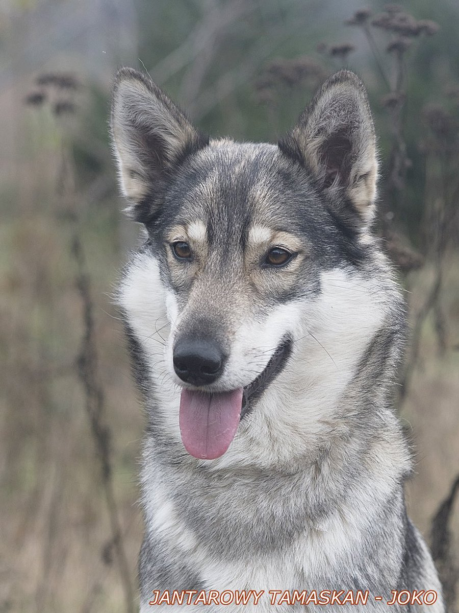 We are happy to announce our newest breeder, Jantarowy Tamaskan with their dog Slavic Wolves Atlantis Agria - Joko, located in Poland!#TDR #TamaskanDogRegister #TamaskanDog #Tamaskan #Dog #TamaskansOfTwitter #DogsOfTwitter #WolfLookAlikeBreed #TamaskanBreeder #DogBreeder