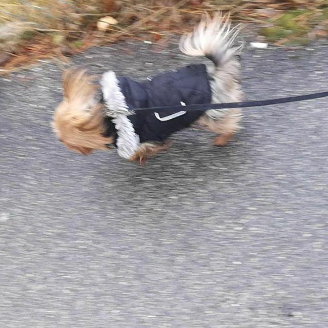 Orkan Sabine kann uns nicht aufhalten  und zur Not, Flügel an und wir fliegen mit . . . #miro #orkan #sturm #wind #herzaufvierpfoten #yorkie #yorkshire #yorkshire_terrier #petstagram #hund #dog #dogstagram #dogoftheday #yorkshireterrier #dogsofinsta… https://ift.tt/2uD1NV9pic.twitter.com/mDJu7gA0Ku