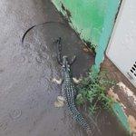 サンパウロ・大雨の影響で「野生のワニとコブラ」が現れた!サントスの練習場近くがとんでもない事に・・・。