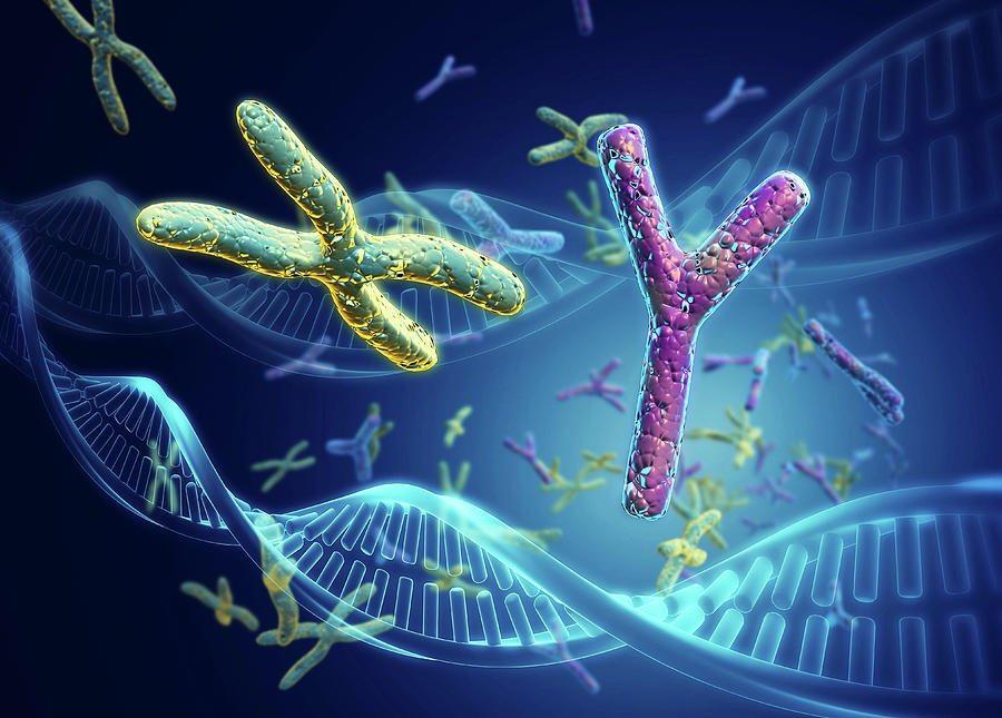 الكروموسوم الذكري Y-Choromosomes ثاني أصغر الكروموسومات البشرية ? نظره  مُفصلة حول الكروموسوم الصادي البشريY، وما هو دوره في إثبات الفكرة الخاطئة و  - Twitter thread from عبدالله العُمري @AlomariV4 - Rattibha