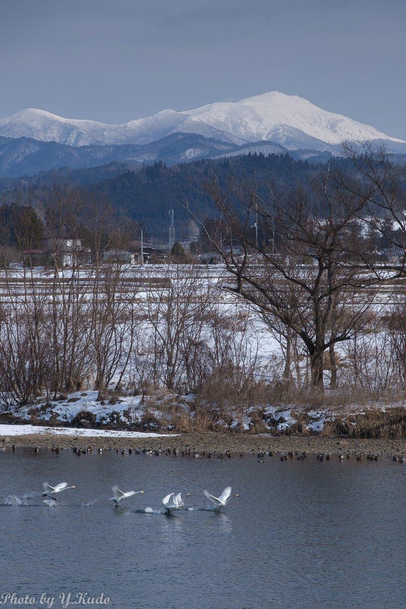 6ヶ月点検の待ち時間を利用して最近の撮影ストックから。   #北上川 を飛び立つ #オオハクチョウ の群れ。白く輝く峰は霊峰 #早池峰山    #岩手 #花巻 #石鳥谷 #野鳥 #白鳥 #wildbird #swan #fujifilm_xseries #xt3