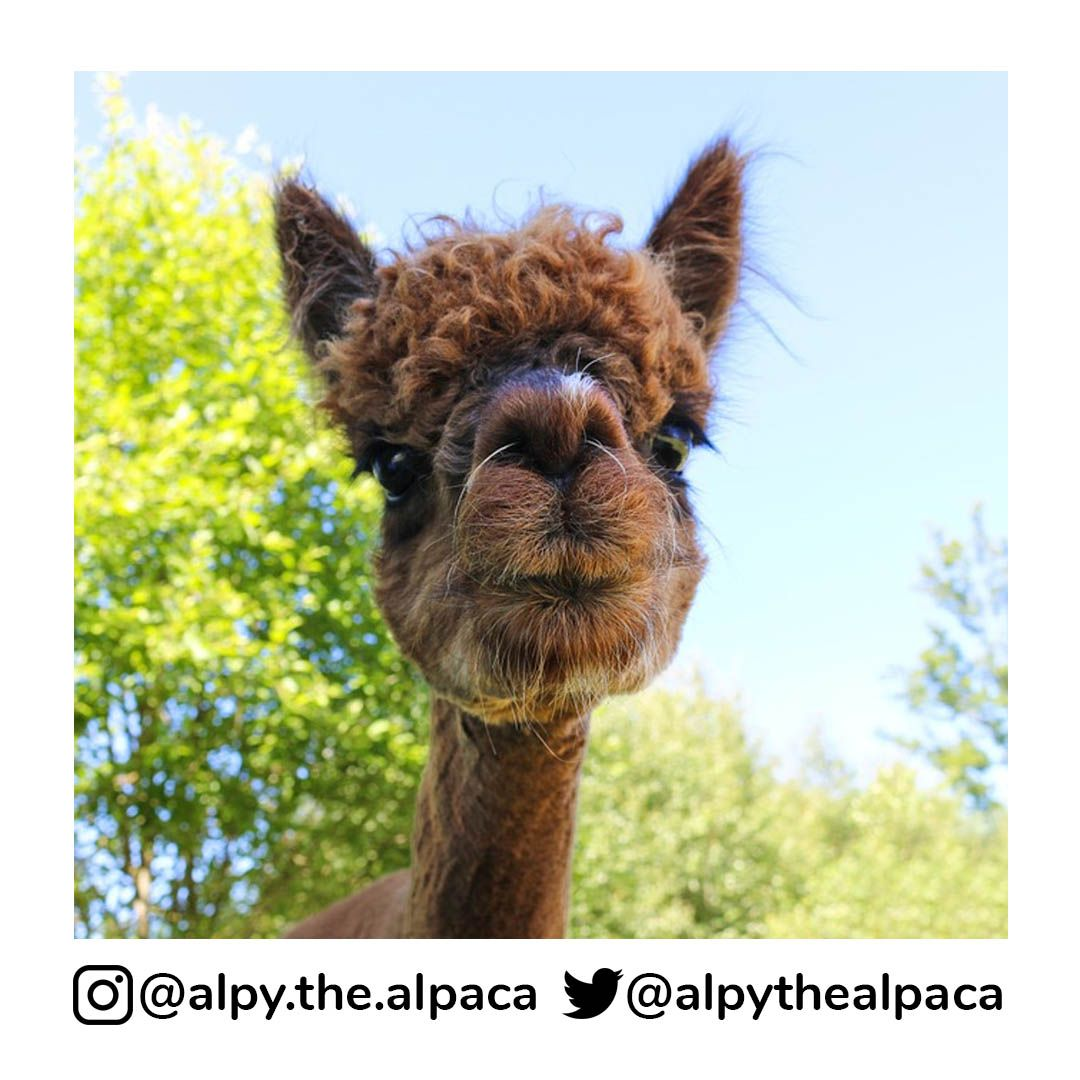 Look at my nose  . .  DM me for Credit/Removal  . . . . . #alpy #alpy.the.alpaca #alpaca #alpacagram #alpacalover #alpacas #alpacasofinstagram #alpacaworld #dailyalpaca #lllama #llamas #alpaka #alpakas #alpaga #alpagas #アルパカ #alpacalove #альпакаpic.twitter.com/F4UXRNmJHL
