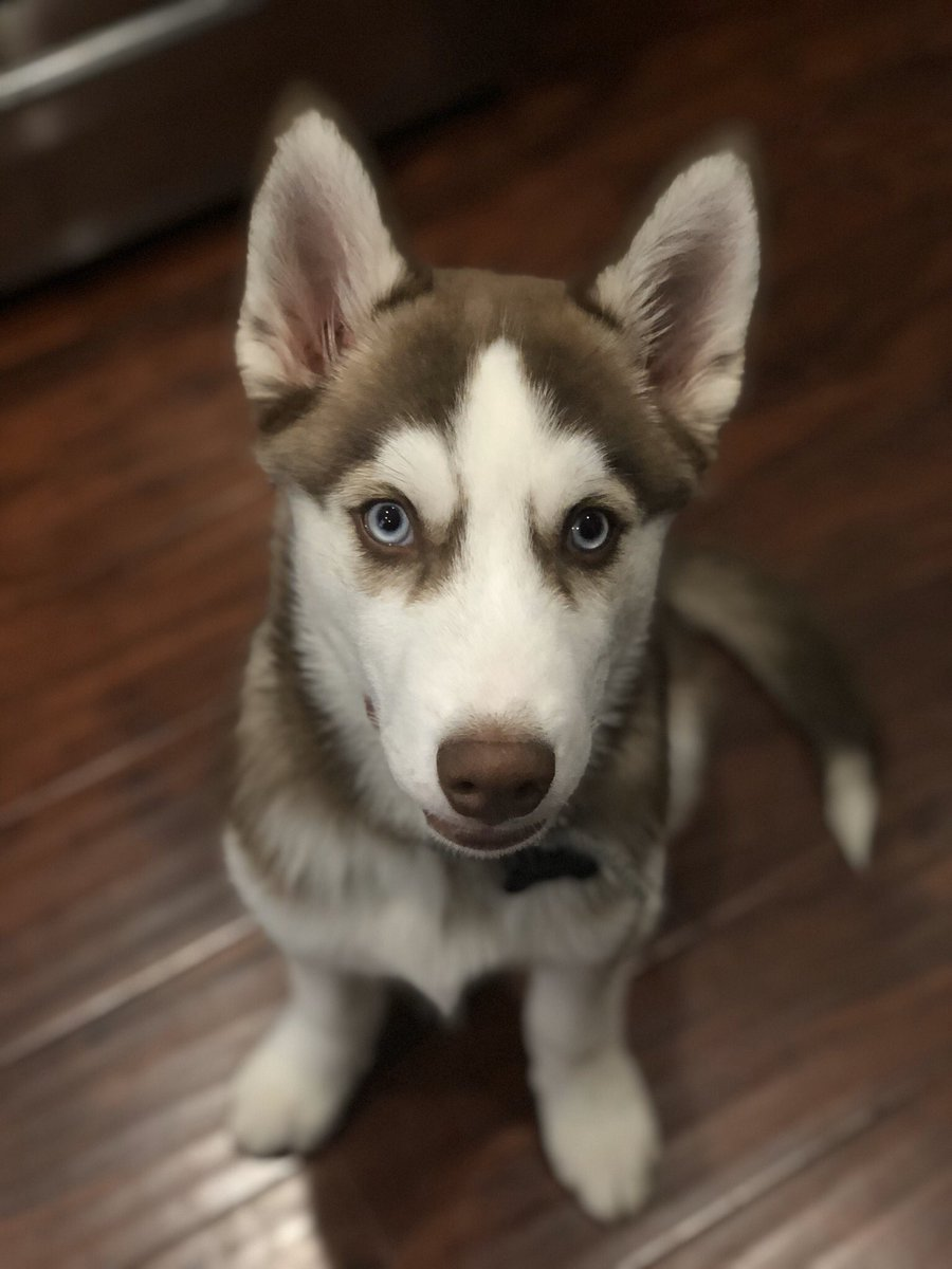 He's wild & crazy, but I just can't get enough of him. I love my baby Bucky  #alusky #huskyheaven #puppylovepic.twitter.com/KE0awZEUy9