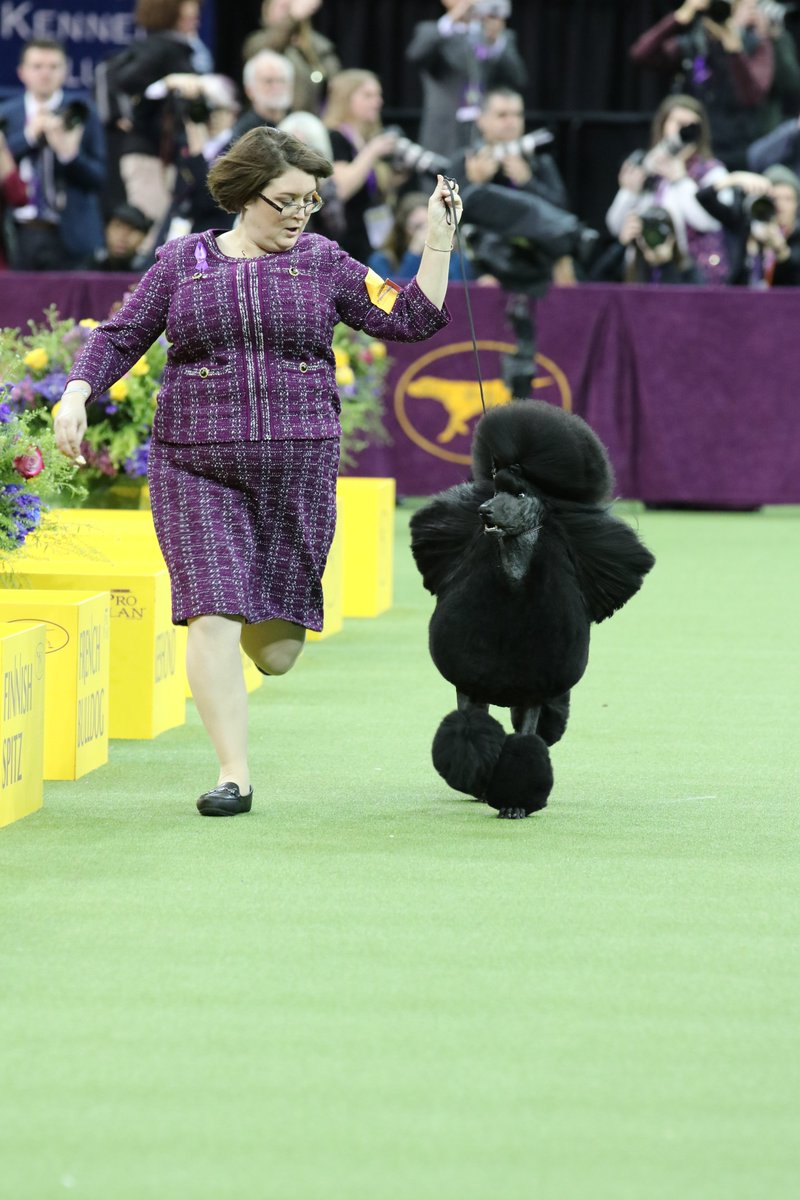 Siba, a standard poodle, wins best in show at Westminster Kennel Club Dog Show