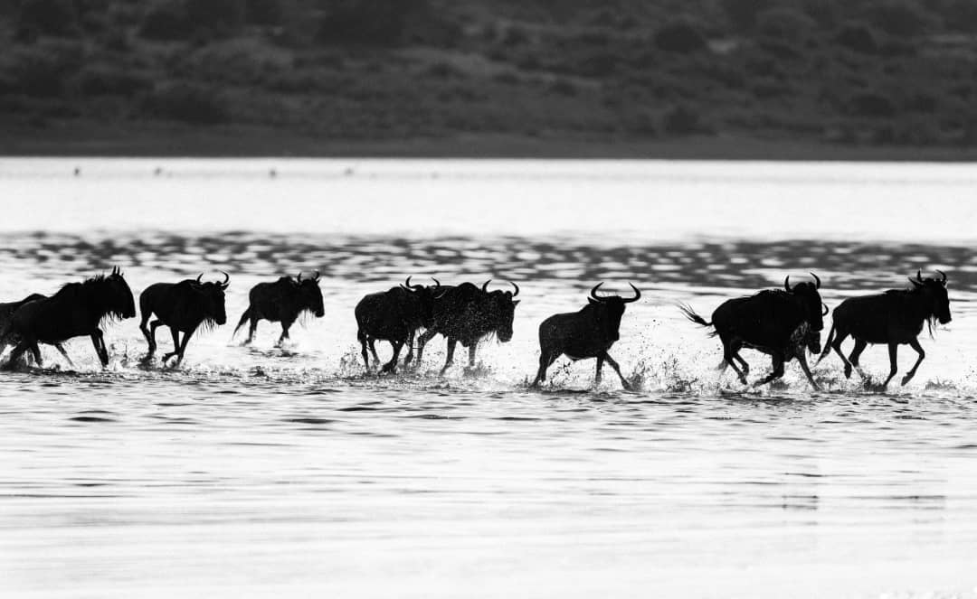 Watch the wildebeest great migration, big natural and fascinating show of Tanzania wildlife in life.  #Tanzaniawildlife #wildebeestMigrationSafari #safaritour #wildlife #tanzaniasafari #wildlifesafari #Serengeti #tanzania #africa #africansafari #wildlifephotographypic.twitter.com/S90KYgBau2