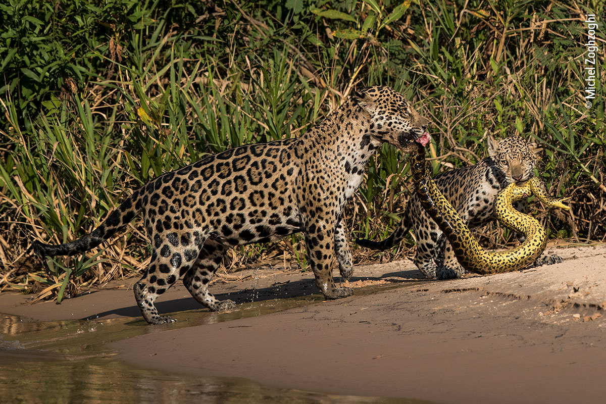 @LumixUK @NHM_WPY @SamRowleyPhoto Michel Zoghzoghi was in Brazil photographing jaguars when his image, Matching Outfits, was captured. He was mesmerized as a mother and cub dragged an anaconda from the water, with the trio sporting very similar patterns. @LumixUK #WPYPeoplesChoice @NHM_WPY #HighlyCommended