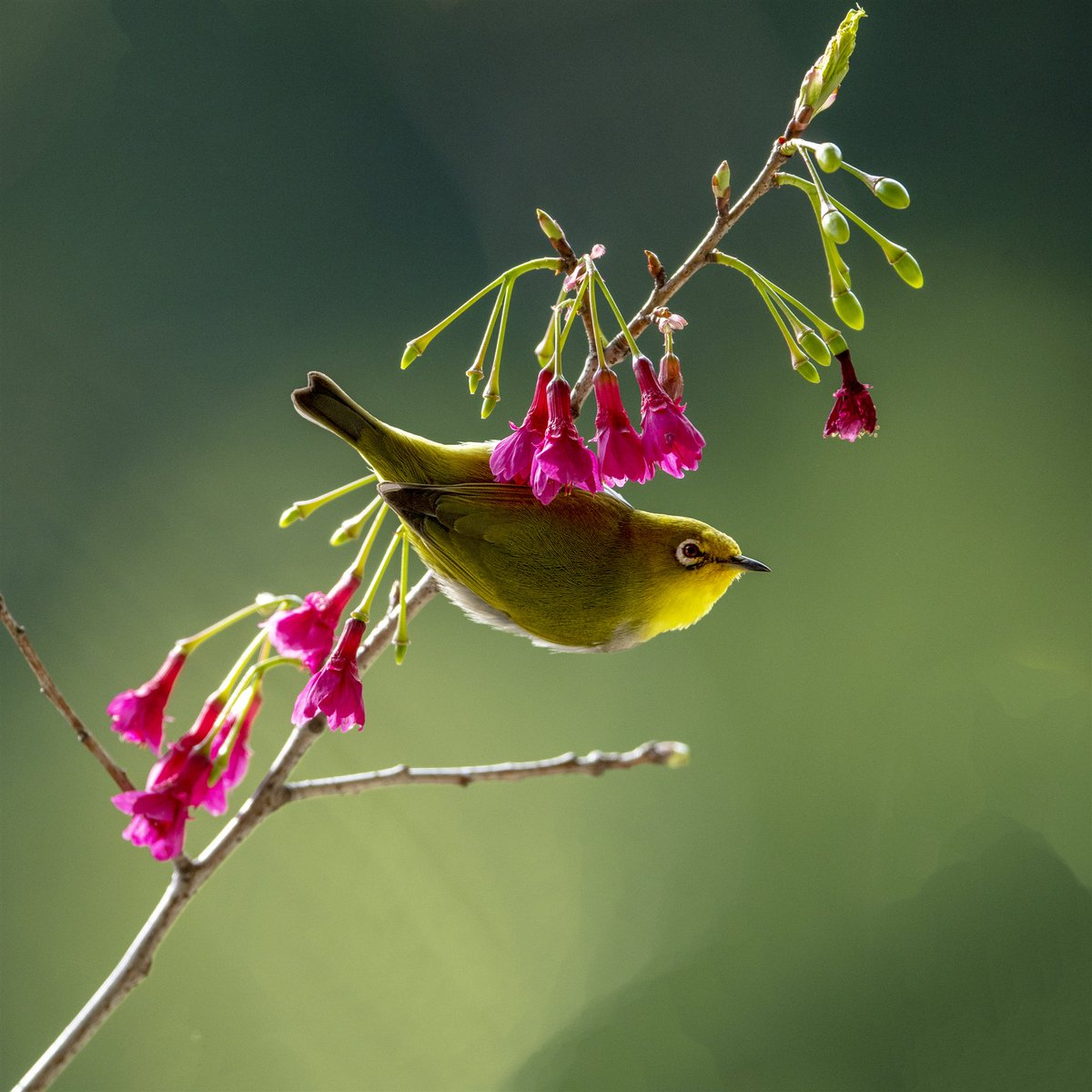 The messengers of spring: White-eyes have come out to forage in Fuzhou, east China's Fujian Province