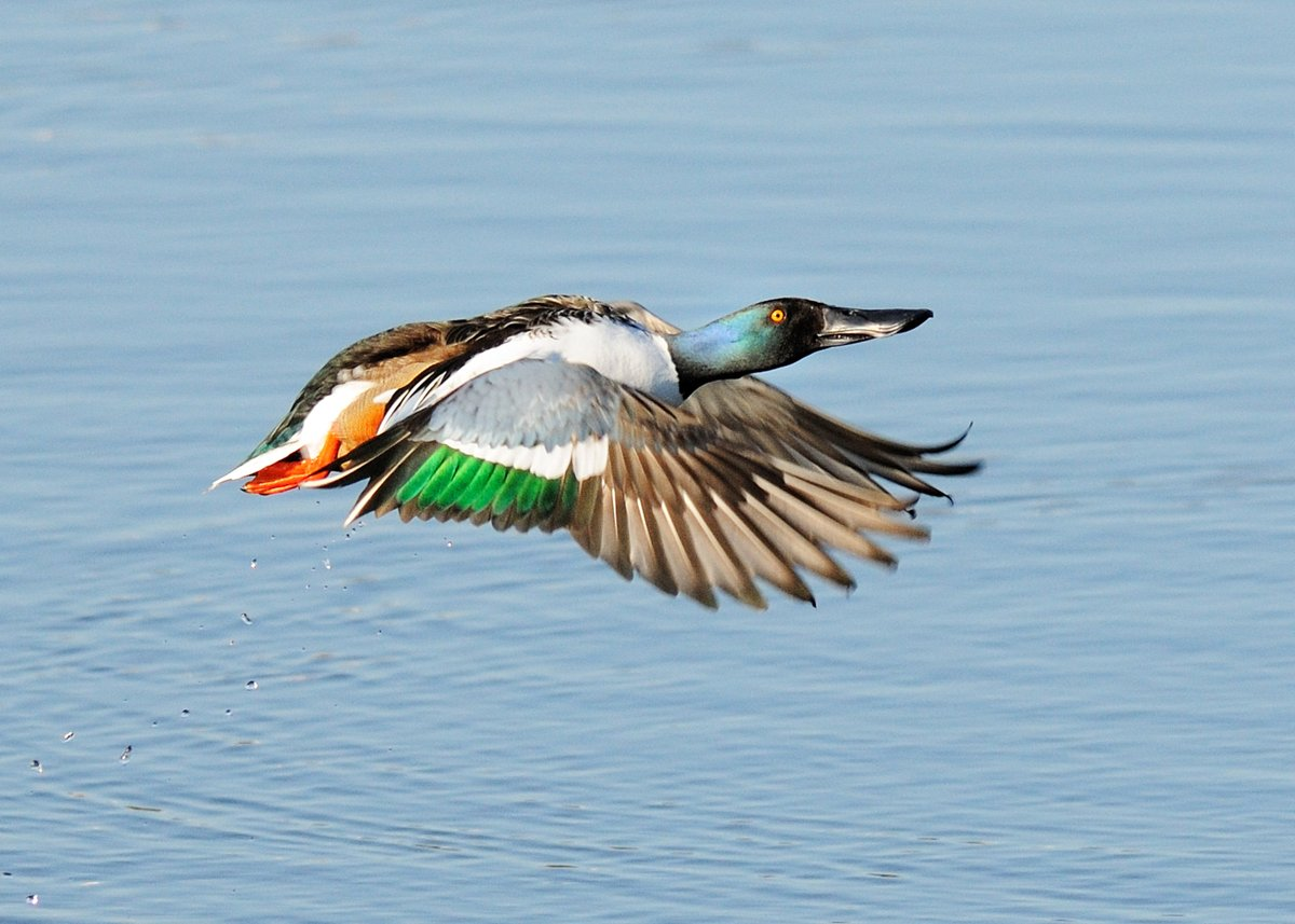 Birds are on the move! As the weather warms up birds start to migrate south. We're getting more #Shoveler on site (temporarily!) before they head off, & #Teal, #Gadwall, #Pintail & #Wigeon are all starting to leave the site. Come and see these lovely ducks while you still can pic.twitter.com/ZglLzqD1Gr