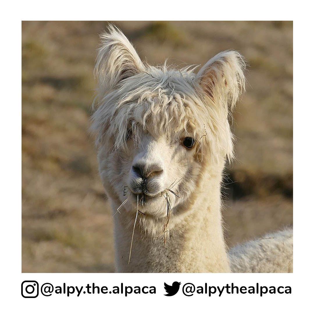 Rockin the hair, I mean fur  . .  DM me for Credit/Removal  . . . . . #alpy #alpy.the.alpaca #alpaca #alpacagram #alpacalover #alpacas #alpacasofinstagram #alpacaworld #dailyalpaca #lllama #llamas #alpaka #alpakas #alpaga #alpagas #アルパカ #alpacalove #альпакаpic.twitter.com/AupRaH4MaS