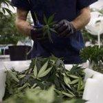 Image for the Tweet beginning: #marijuana #cannabis #cannabiscommunity-  TORONTO - Soon after
