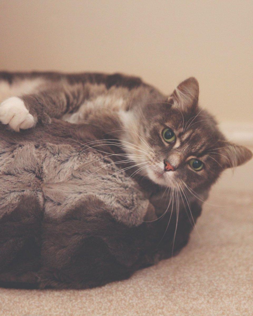Dogtooth Cat