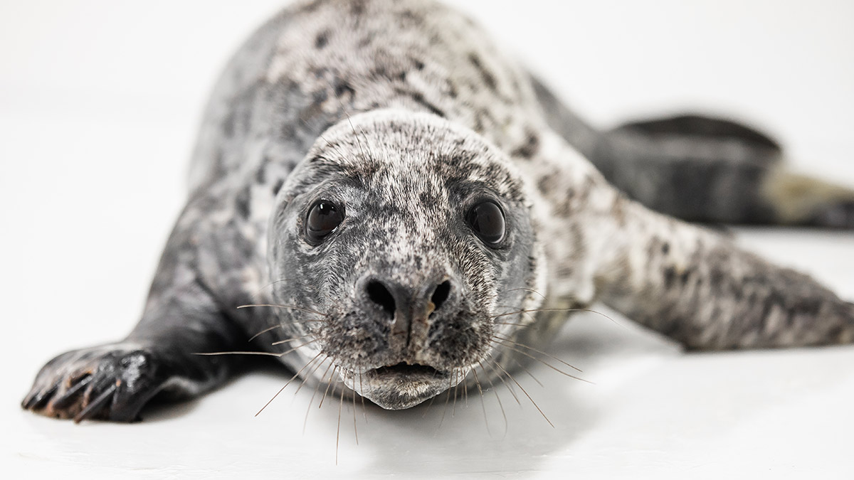 National Aquarium Animal Rescue has admitted its first rescued seal of the year … meet Pippi Longstocking!