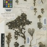 Sencio darwinii was named by WJ Hooker & GAW Arnott based on this specimen collected in Tierra del Fuego, #Chile by Charles Darwin in 1833. Happy #DarwinDay! #DarwinDay2020 Type image courtesy @kewgardens herbarium. @KewAmericas @KewScience