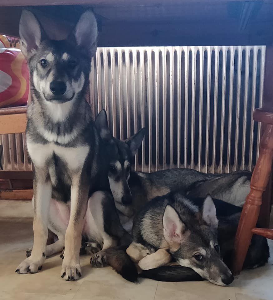 Vargskuggans still has 3 females available for new loving homes!#TDR #TamaskanDogRegister #TamaskanDog #Tamaskan #Dog #TamaskansOfTwitter #DogsOfTwitter #NotAWolf #WolfLookAlikeBreed #TamaskanPuppies #Puppies #PuppiesOfTwitter
