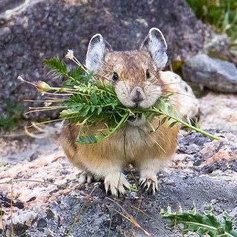 @wander_filled A6: Rustic 📸 Pika chew?!! @RockyNPS #FindYourPark #ParkChat