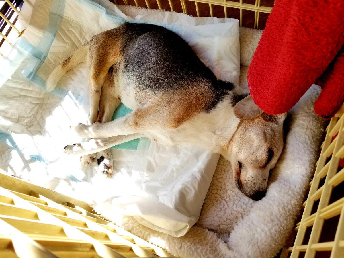 顔に日光が当たると嫌がるので、ちょこっと日向ぼっこ  #ビーグル  #ビーグル犬 #17歳高齢犬 #てんかん犬  #下肢麻痺  #寝たきり  #ペット介護 pic.twitter.com/XrtrPZvjJm
