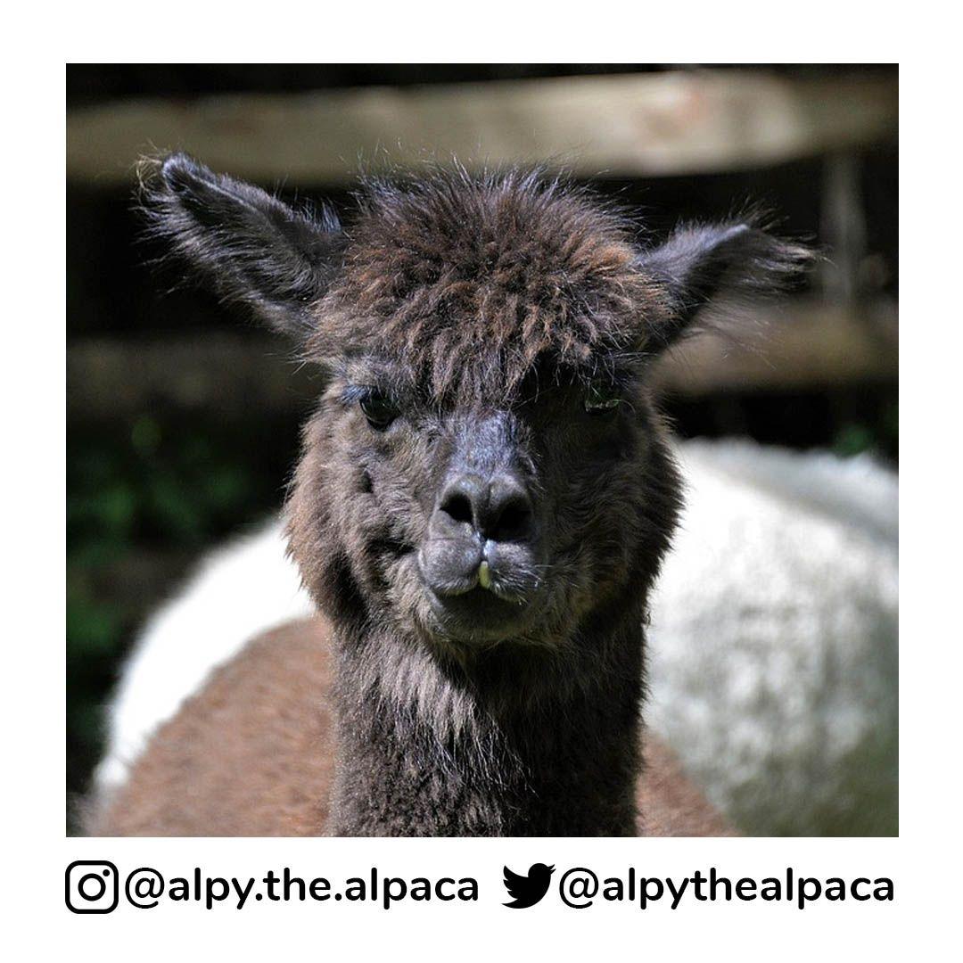 . .  DM me for Credit/Removal  . . . . . #alpy #alpy.the.alpaca #alpaca #alpacagram #alpacalover #alpacas #alpacasofinstagram #alpacaworld #dailyalpaca #lllama #llamas #alpaka #alpakas #alpaga #alpagas #アルパカ #alpacalove #альпакаpic.twitter.com/DnBlPMmMo9