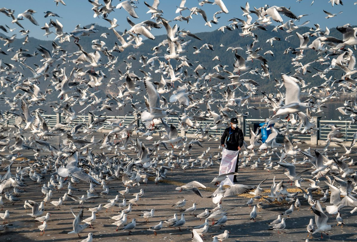 No bird is left behind!One of the most popular tourist activities is to feed the wintering black-headed gulls by the banks of Dianchi Lake in Kunming, SW China.Now with the epidemic, it's down to rangers to feed the birds twice a day to make sure they last the winter