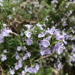 #Rosemary is for remembrance. DYK it is also for gut health and exhibits strong anti-inflammatory activities? Beyond food, you may encounter this herb in essential oil blends, shampoo scents or even room deodorizer sprays!  Listen here: https://t.co/Jt6IGYmfE7  #Food #podcast