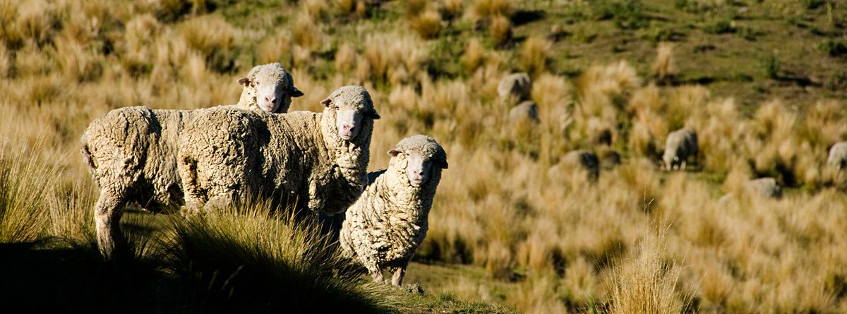 Merino Wool - Properties of the functional, natural fiber: https://t.co/Yj6QsekdY8 https://t.co/PxHp4jEHXp