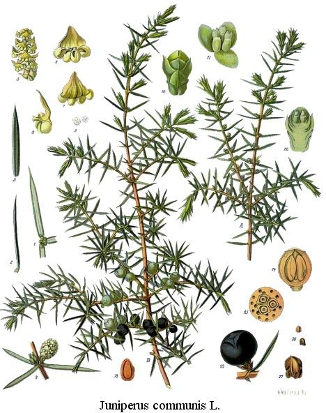 Juniperus communis communis, der Gemeine oder Gewöhnliche Wacholder. Über die spitzen Nadeln verdunstet sehr wenig Wasser, daher kommt er mit den trockenen Sommermonaten in der Stadt gut zurecht. Schwach giftig; die Beeren werden als Gewürz genutzt. https://de.wikipedia.org/wiki/Gemeiner_Wacholder…pic.twitter.com/hK9lTY4TAY